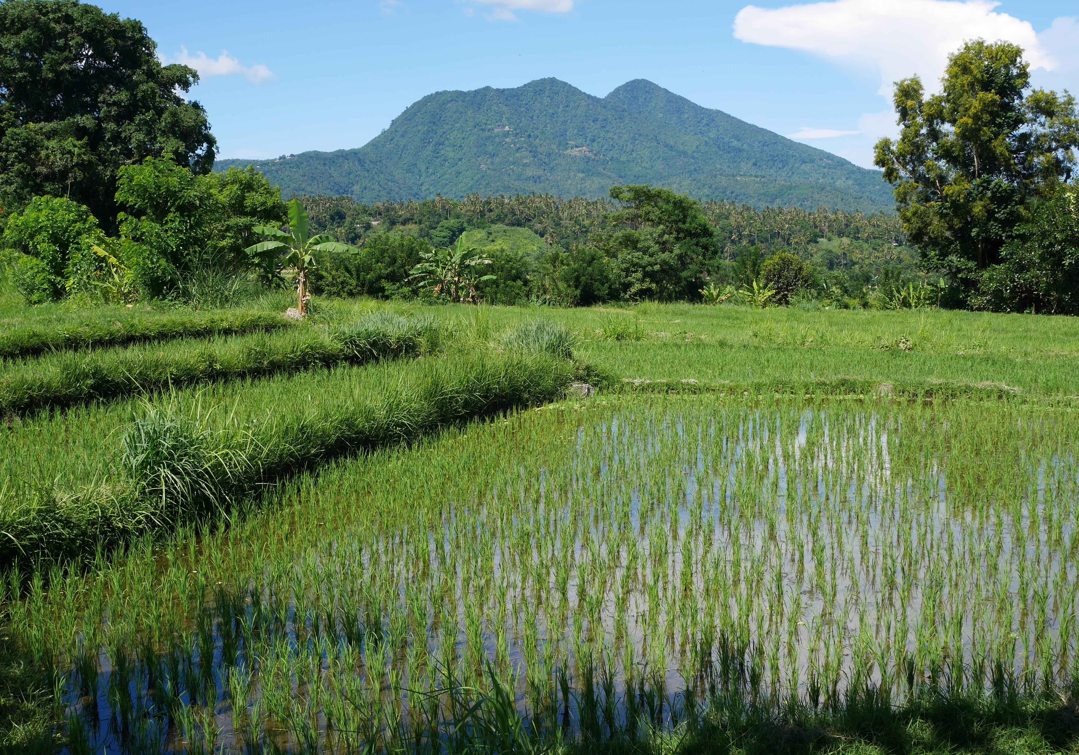 Rice fields near Amed - East Bali